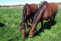 zwei-pferde-wiese